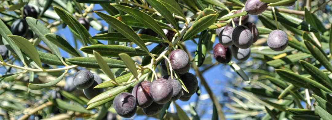 olivenolie forebygger hjertekarsygdom