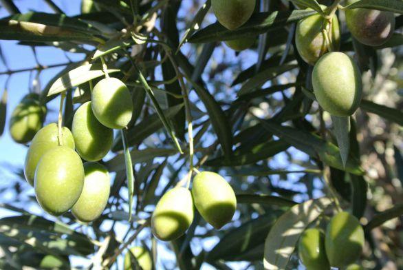 grønne_oliven