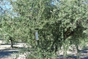 oliventræ økologisk