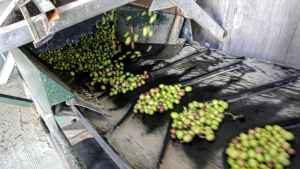 oliven sortering
