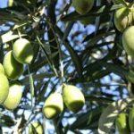 oliven olie smag