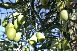 oliven-olive-smag-forskellen